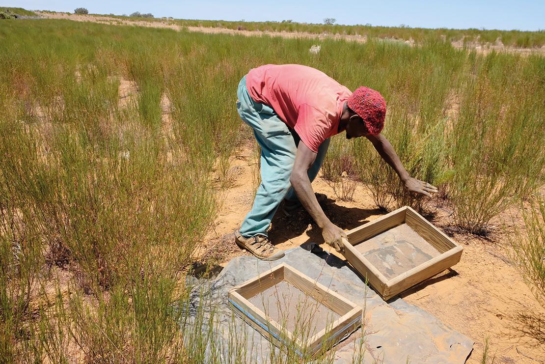 A farmer harvesting rooibos. Credit: Natural Justice.
