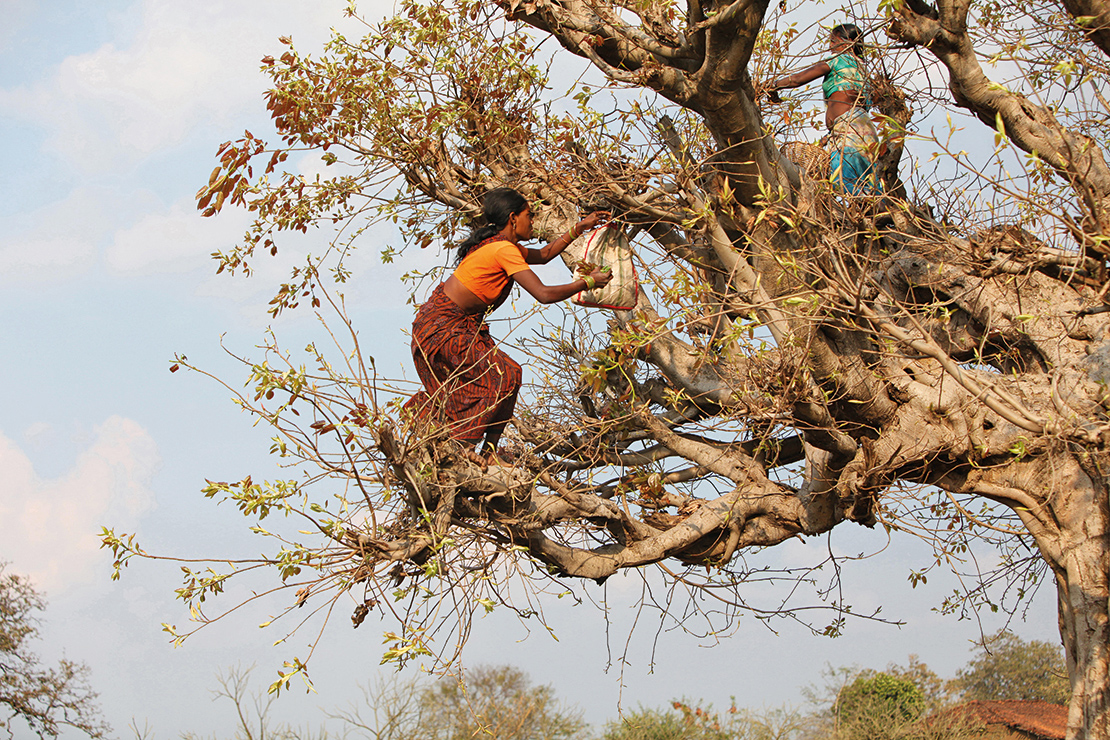 Baiga women collect leaves in the forest. Credit: ephotocorp.