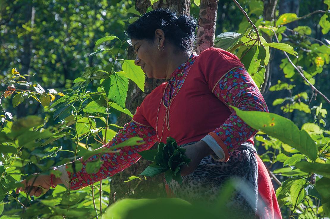 Gathering medicinal plants from a communitymanaged forest near Hetauda, Nepal. Credit: Claire Bracegirdle.