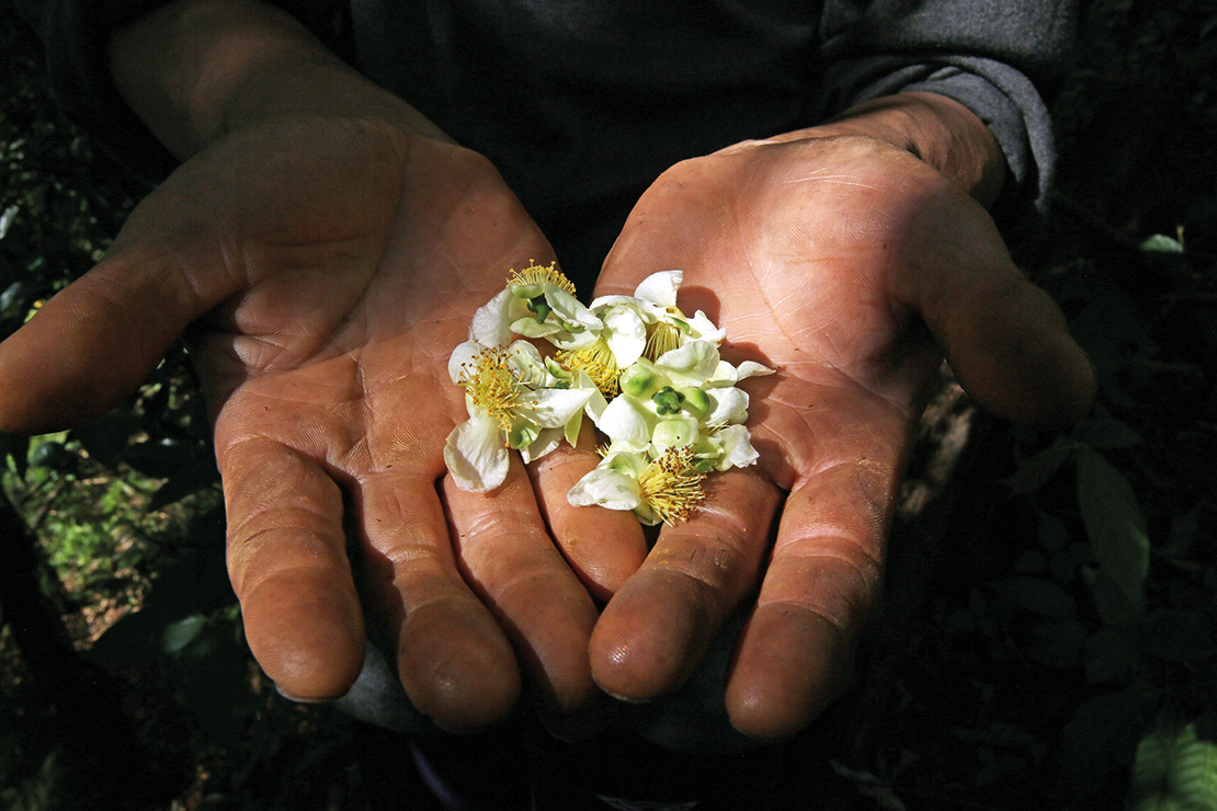 Assam tea tree flowers are extremely important for pollinators, and contribute to the unique taste of honey from Hin Lad Nai. Credit: Gleb Raygorodetsky, from his book The Archipelago of Hope: Wisdom and Resilience from the Edge of Climate Change.