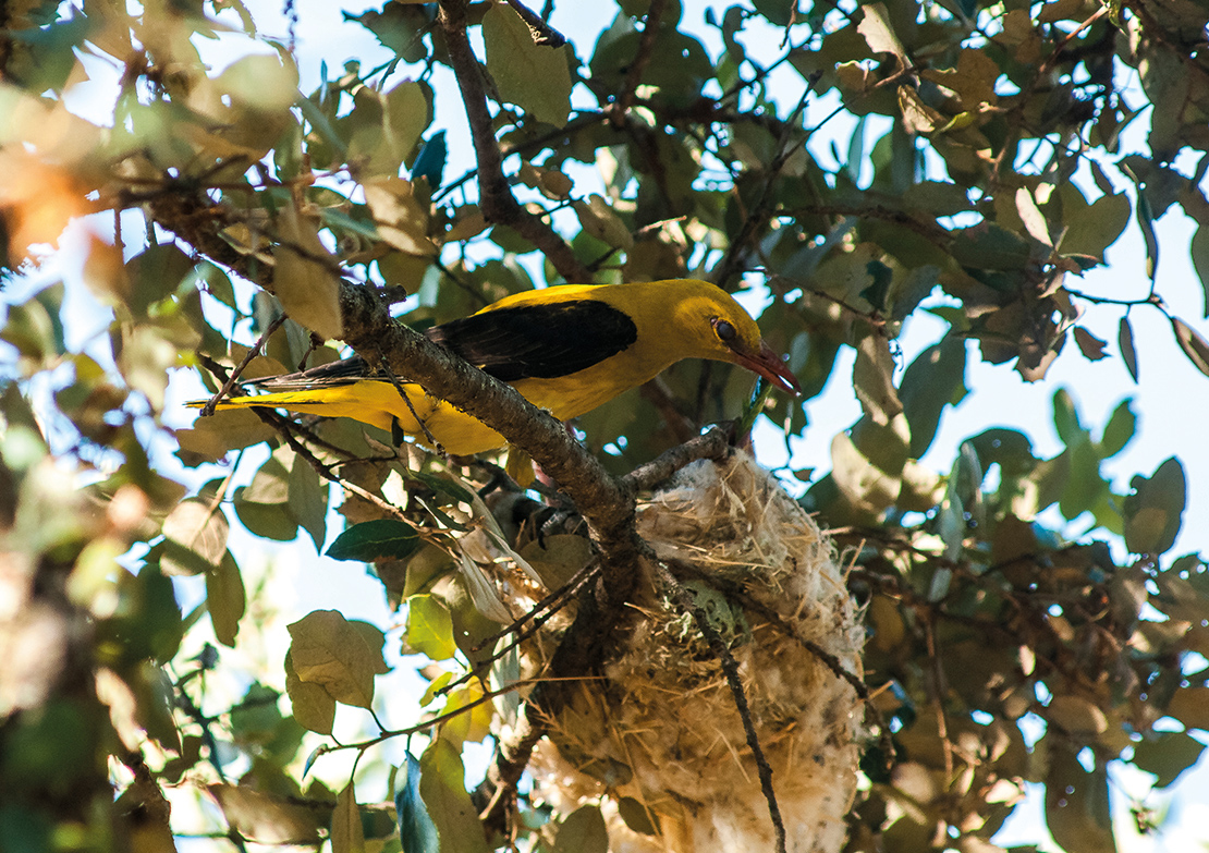 When the Chorka makes its nest longer than usual, it is a sign that the onset of winter will delay farmers in their planting systems. Credit: PJR Photography.